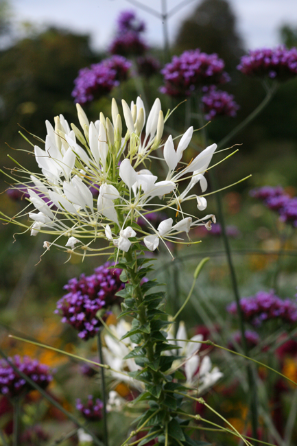 preview hoep 00006 cleome spinosa spinnenpflanze