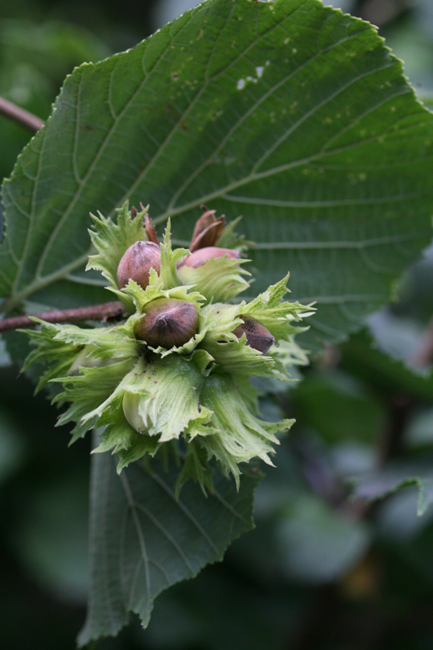 preview hoep 00008 corylus avellana haselnuss