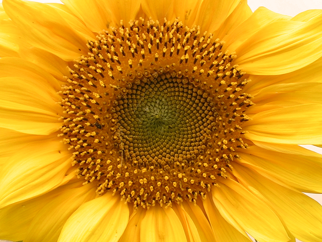 preview hoep 00013 helianthus annuus sonnenblume
