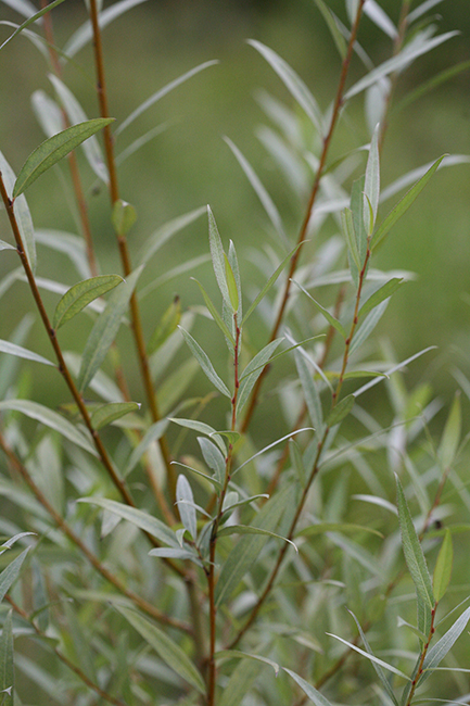 preview hoep 00026 salix purpurea blutweide