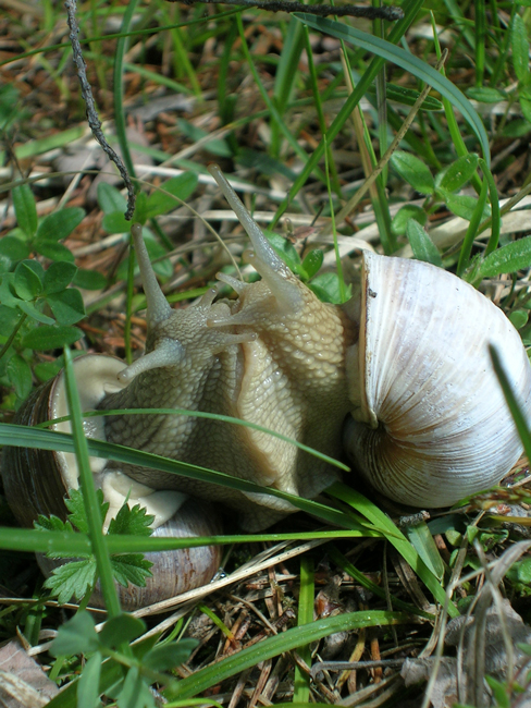 preview hoet 00032 helix pomatia weinbergschnecke paarung